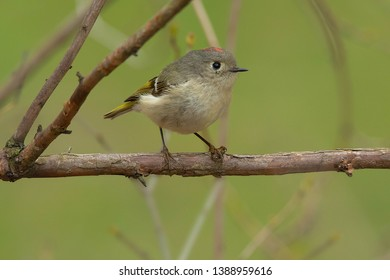 Ruby-crowned Kinglet perched on a branch. Colonel Samuel Smith Park, Toronto, Ontario, Canada.