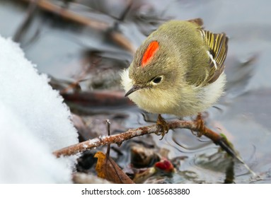 Ruby-crowned kinglet (Regulus calendula) foraging at the lake edge at snowy day, Ames, Iowa, USA
