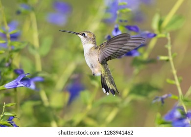 Ruby-throated Hummingbird (Archilochus colubris) at Blue Ensign Salvia (Salvia guaranitica ' Blue Ensign') Marion County, IL