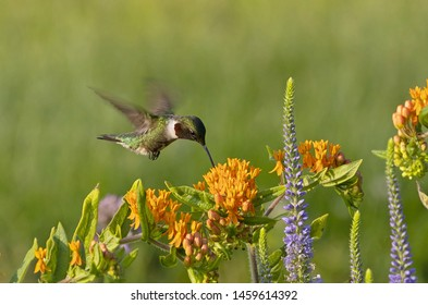 The Ruby-throated hummingbird (Archilochus colubris) drinks nectar from a flowering Butterfly Weed (Asceptlias tuberosa)