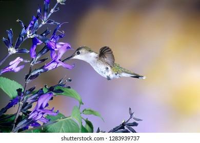 Ruby-throated Hummingbird (Archilochus colubris) on Black and Blue Salvia (Salvia Guaranitica 'Black and Blue'), Illinois