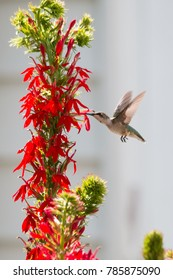 Ruby-throated hummingbird feeding on red flowers.