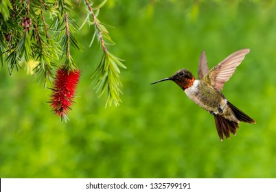 Ruby-throated Hummingbird with Red Bottlebrush flower over green summer background