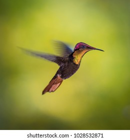 The Ruby-topaz hummingbird flying in the colorful background