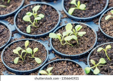 Rucola Hydroponic farm. Young Rucola plants, Young rockets, Rucola sprouts, Spring Seedlings. Healthy Vegetable.