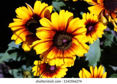Rudbecia, Yellow Flower, Full Bloom