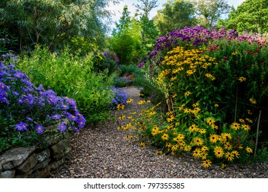 Rudbeckia and Aster flowering in borders beside a gravel path- The Picton Garden, Worcester