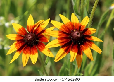 Rudbeckia bicolor is a plant genus in the sunflower family. The species are commonly called coneflowers and black-eyed-susans. Cultivated in gardens for their showy yellow and red flower heads.