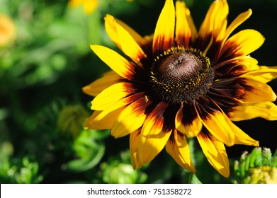 Rudbeckia  Black-Eyed Susan Flower