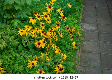 Rudbeckia blooms in a flower bed next to the paved path