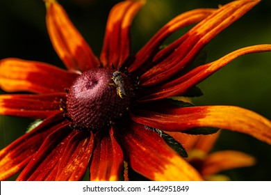 Rudbeckia, Echinacea. Rudbeckia hairy - a herbaceous plant, a species of the genus Rudbeckia of the family Compositae. Coneflower.