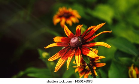 Rudbeckia, Echinacea. Rudbeckia hairy - a herbaceous plant, a species of the genus Rudbeckia of the family Compositae. Coneflower. Copy space