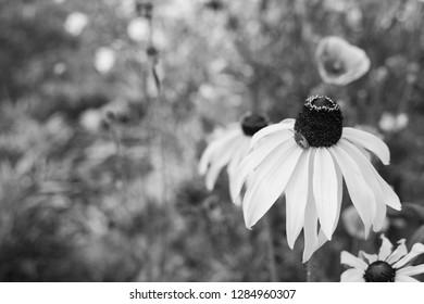 Rudbeckia flower - Black Eyed Susan - with a gorse shield bug nymph in a summer garden - monochrome processing