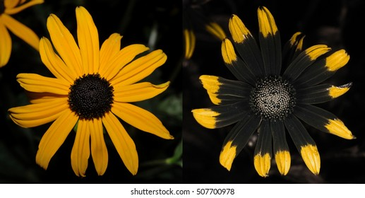 Rudbeckia flower in visible light (left) and false-color reflected ultraviolet (right).