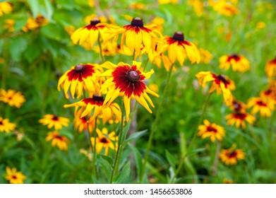 Rudbeckia flowers. Blooming flowers Rudbeckia (Black-eyed Susan) in the summer. Soft blurred selective focus.