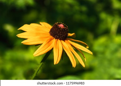 Rudbeckia flowers with brown centers and yellow-orange petals. It is also called Coneflowers, Black-eyed-Susans, Leuchtender Sonnenhut. Garden in daylight. Blurred background of green grass.
