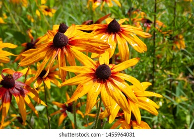 Rudbeckia flowers with raindrops. Wet blooming flowers of yellow and orange rudbeckia (black-eyed susan) in a flower bed in the summer garden. Soft floral background, selective focus.