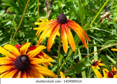 Rudbeckia flowers with raindrops. Wet blooming flowers of yellow and orange rudbeckia (black-eyed susan) on a flower garden in rainy weather. Soft floral background, selective focus.