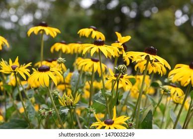 Rudbeckia fulgida sort Goldsturm: rudbeckia blooms in summer in the garden