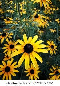 Rudbeckia fulgida yellow daisies.