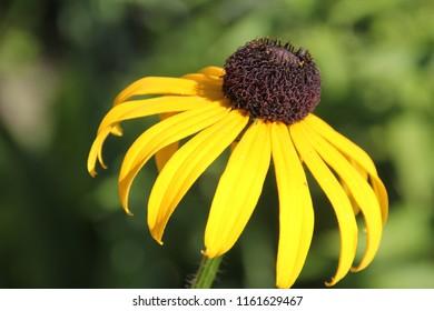 rudbeckia in the garden,  flower rudbeckia, rudbeckia,  yellow flower, macro photography of rudbeckia