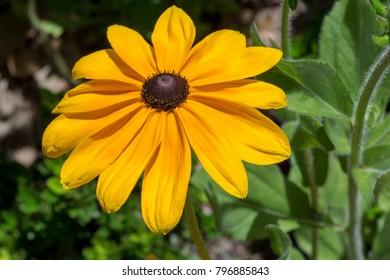 Rudbeckia Hirta, also known as black-eyed or brown-eyed Susan, brown betty, gloriosa daisy, golden Jerusalem, English bull's eye, poor-land daisy, yellow daisy or yellow ox-eye daisy.