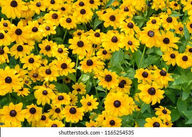 Rudbeckia Hirta L. (Toto, Black-Eyed Susan) flowers of the Asteraceae family