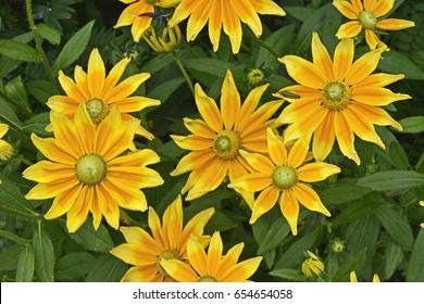 Rudbeckia hirta 'Prairie Sun' in a flower border