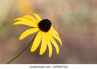 Rudbeckia hirta yellow with bokeh