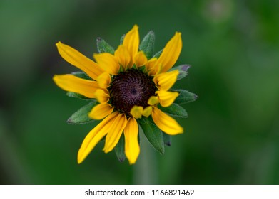 Yellow flower with brown center images stock photos vectors rudbeckia hirta yellow flower with black brown center in bloom black eyed susan flowering plant mightylinksfo