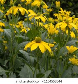Rudbeckia laciniata 'Herbstonne' (Coneflower or Black Eyed Susan) in a Country Cottage Garden in Rural Devon, England, UK