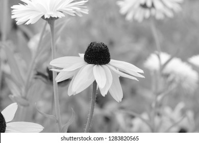 Rudbeckia Marmalade flower blooms among other coneflowers and calendula - monochrome processing