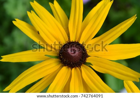 Rudbeckia perennial similar daisy tall flowers stock photo edit now rudbeckia perennial similar to the daisy tall flowers flowers are yellow mightylinksfo