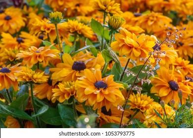 Rudbeckia Summerina, beautiful flowers of summer. (Rudbeckia Hybride)_001