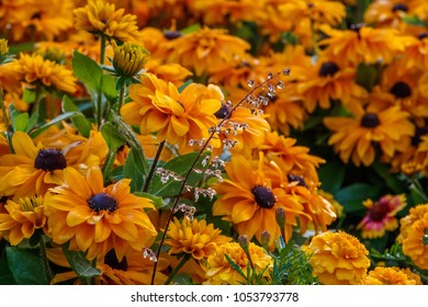Rudbeckia Summerina, beautiful flowers of summer. (Rudbeckia Hybride)_002