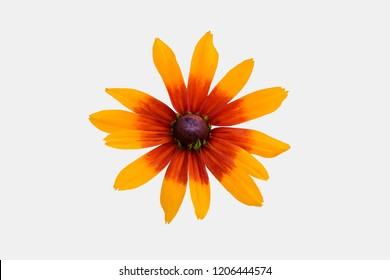 Rudbeckia two-color - Black-eyed-Susan - isolated with clipping path on white background.Yellow-orange Rudbeckia with brown centers.