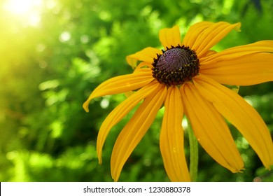 Rudbeckia yellow close-up on a bright green blurred background in the bright rays of the sun. Rudbeckia Marmalade flower with yellow petals