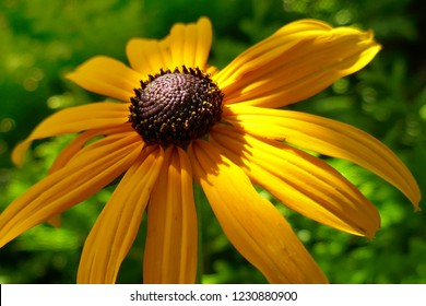 Rudbeckia yellow close-up on a bright green blurred background in the  rays of the sun. Rudbeckia Marmalade flower with yellow petals