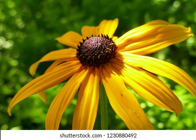 Rudbeckia yellow close-up on a green blurred background in the bright rays of the sun. Rudbeckia Marmalade flower with yellow petals