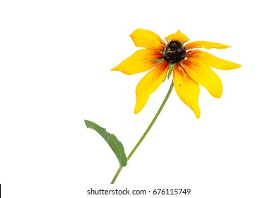 Rudbekia cultivated flower
