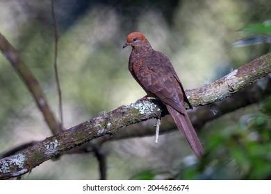 Ruddy Cuckoo Dove found in Kinabalu Park , Ranau, Sabah, North Borneo, Malaysia.
