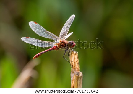 Ruddy Darter Dragonfly perched on stalk, Coleshill Park, Wiltshire, UK