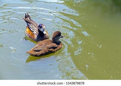 Ruddy Duck (Oxyura jamaicensis) is small duck or teal swimming on water.