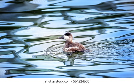 Ruddy duck swimming in a pond in Maryland with Autumn reflections