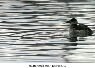 Ruddy duck, Veteran's park, Klamath Falls, Oregon, USA
