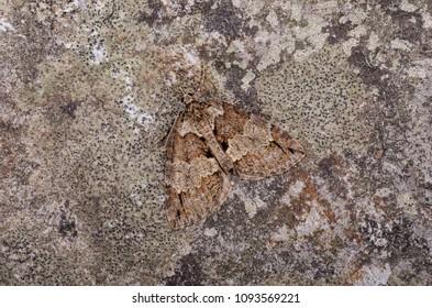 Ruddy Highflyer (Hydriomena ruberata) moth sitting on a rock.
