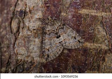 Ruddy Highflyer (Hydriomena ruberata) moth sitting on tree bark