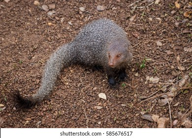 Ruddy mongoose, Herpestes smithii.