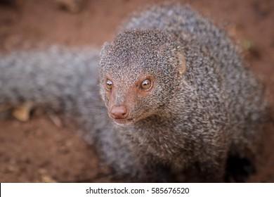 Ruddy mongoose, Herpestes smithii, close up
