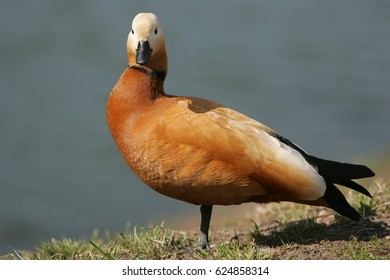 Ruddy shelduck, or Tadorna ferruginea in Latin, male, at pool in Moscow park of Lefortovo